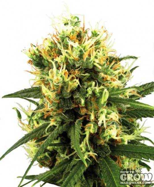 White Label – White Haze Automatic Marijuana Seeds