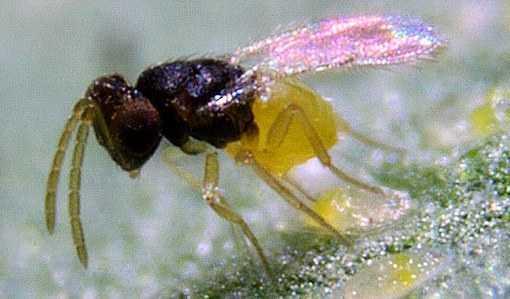 Encarsi Forosa hunting for Whitefly