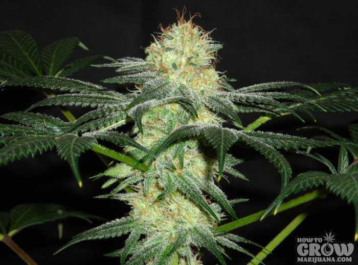 Top 10 Cbd Seeds