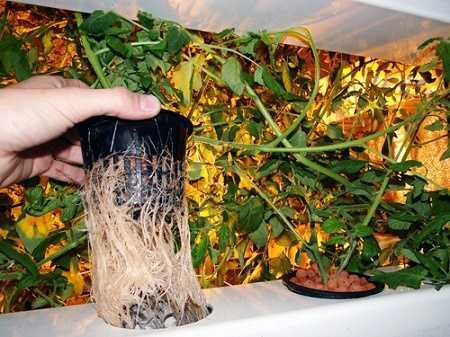 Big Buddha Box Hydroponics System with Plants