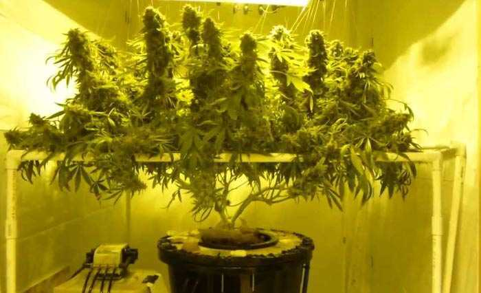 Marijuana Hydroponics Systems For Beginners