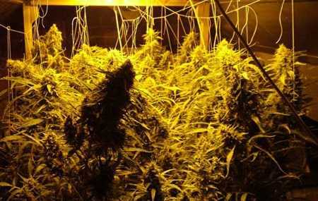 Marijuana Plants Growing in NFT System