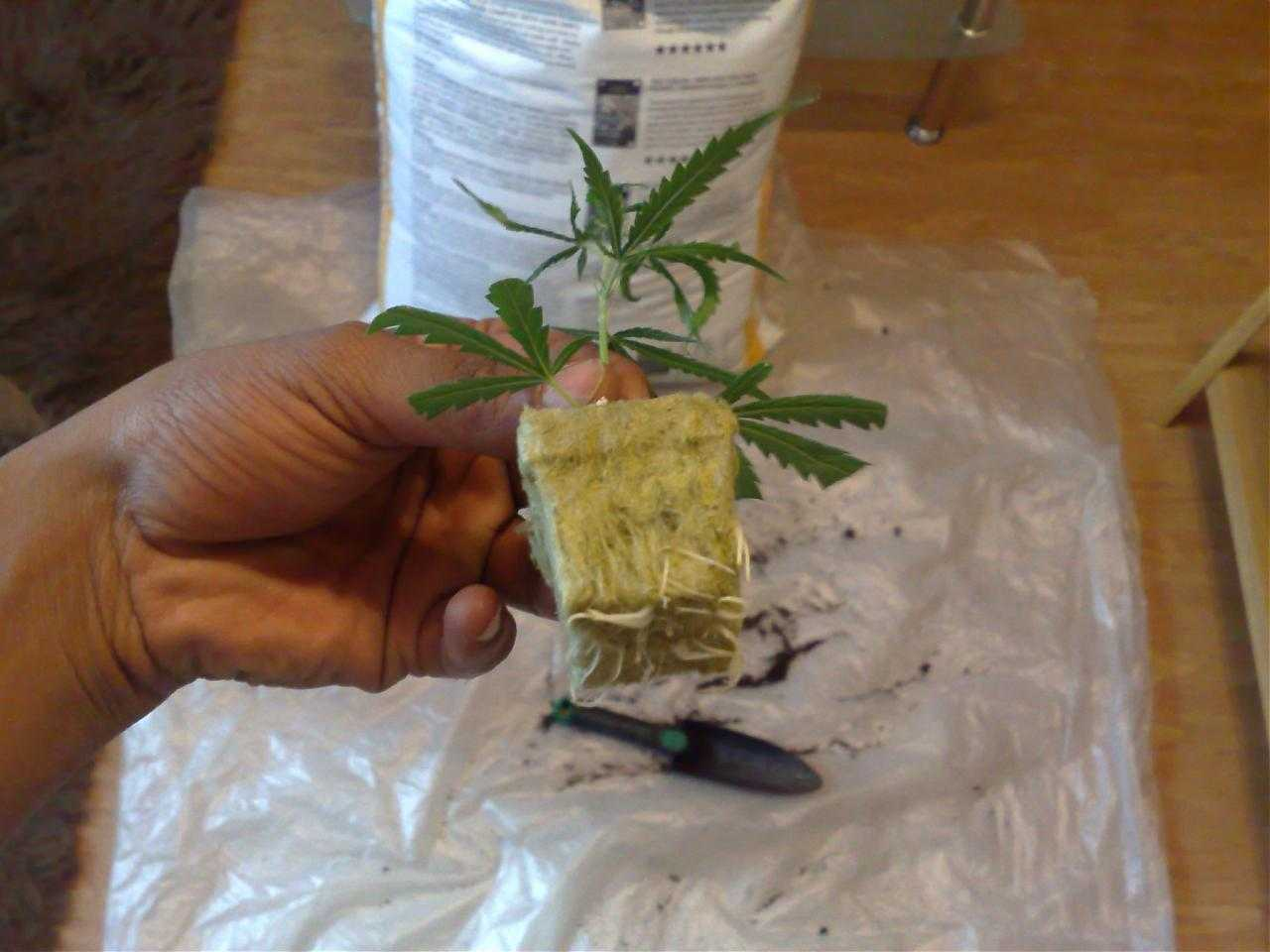 rooted marijuana clone in rockwool
