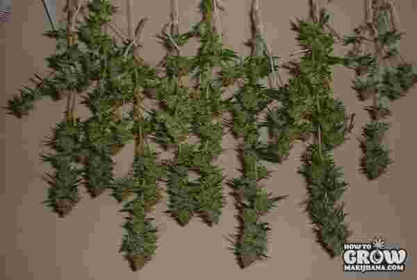 Hanging Marijuana to Dry