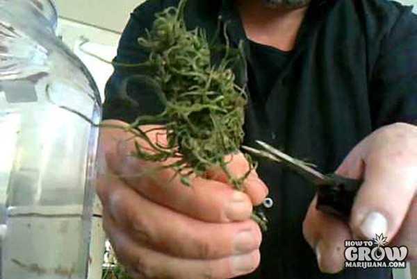 Manicuring Marijuana for Curing