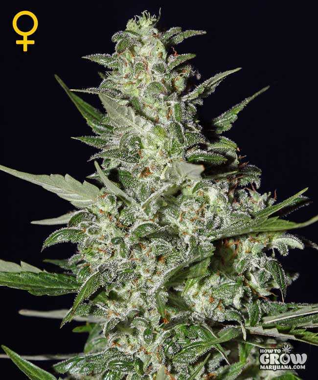 Green House Super Critical Autoflowering Feminized Seeds