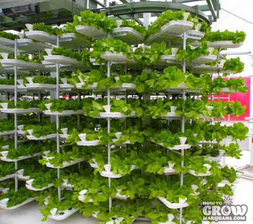 Vertical Farming Lettuces