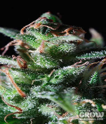 Dutch Passion – La Lybella® Feminized Seeds