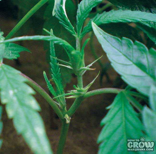 Female Marijuana Clone for Monster Cropping
