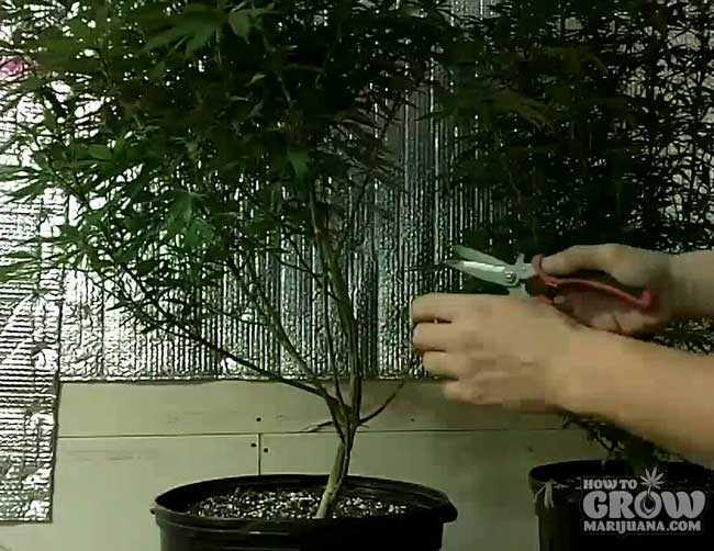 Grower Lollipopping Marijuana Plant