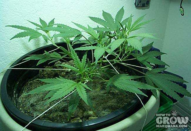 Marijuana Training Techniques