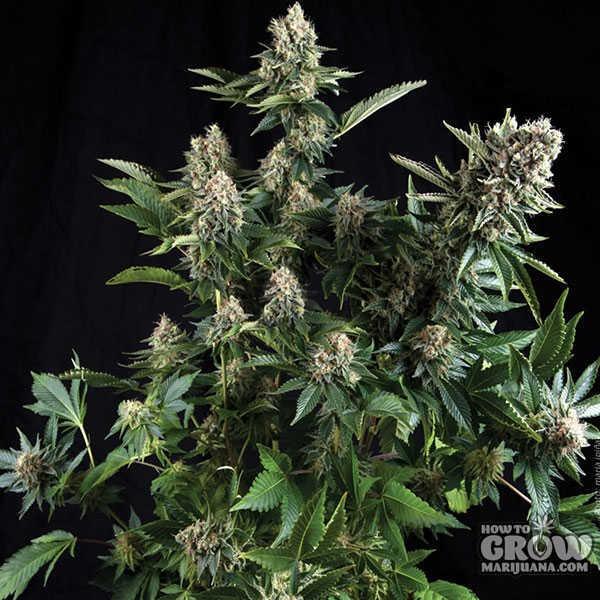 Pyramid Auto White Widow Autoflowering Feminised Seeds