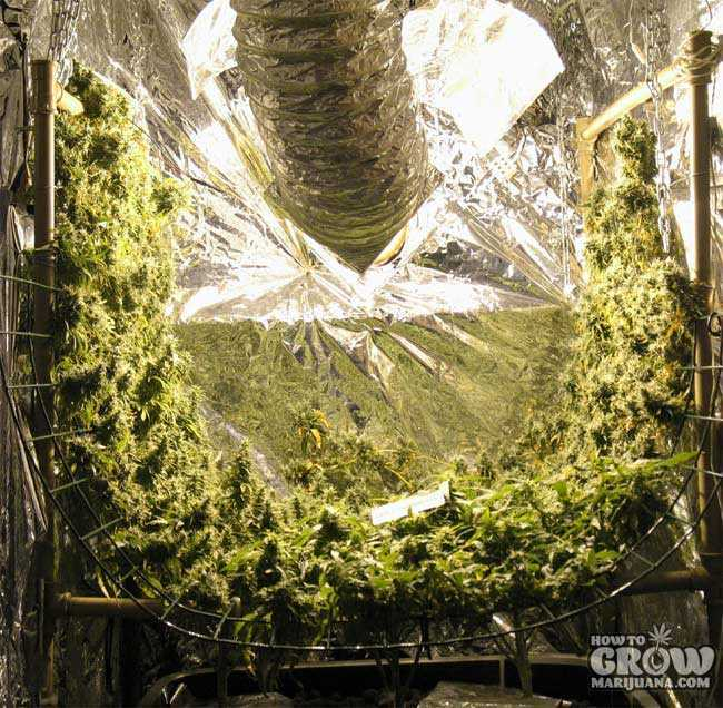 Vertical SCROG Marijuana Plants