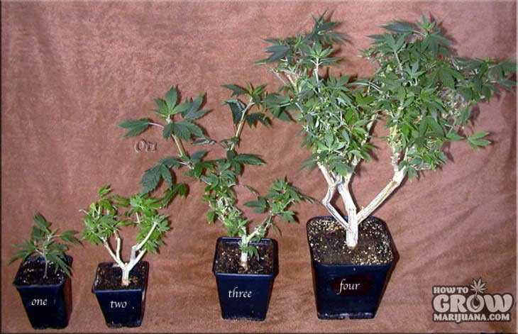 bonsai cannabis mother plant