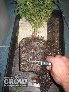 root trimming cannabis