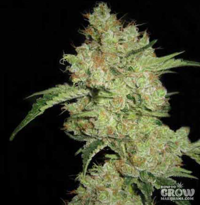 CBD Shark Marijuana - High CBD Strain