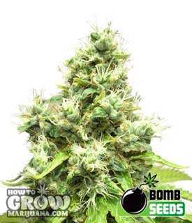 Medi Bomb #1 Cannabis Seeds - Medical Marijuana
