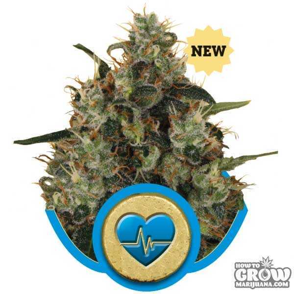 Medical Mass Marijuana - High CBD strain