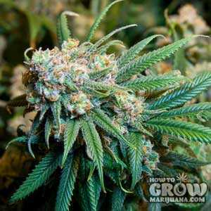 Royal Queen Dance World Marijuana Seeds