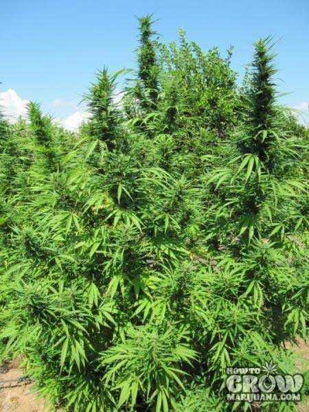 Best Top 10 Outdoor Marijuana Seeds