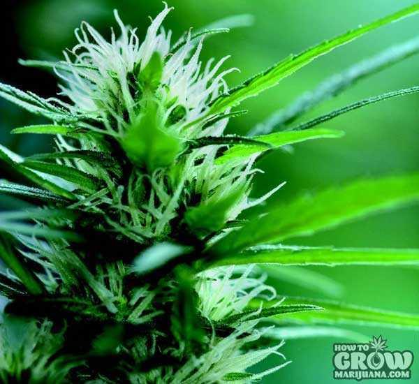 Best Top 10 Outdoor Marijuana Seeds