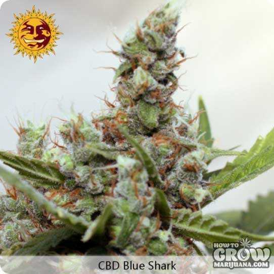 Barneys Blue Shark Feminized