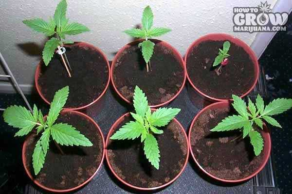 Best Feminized Cannabis Seeds