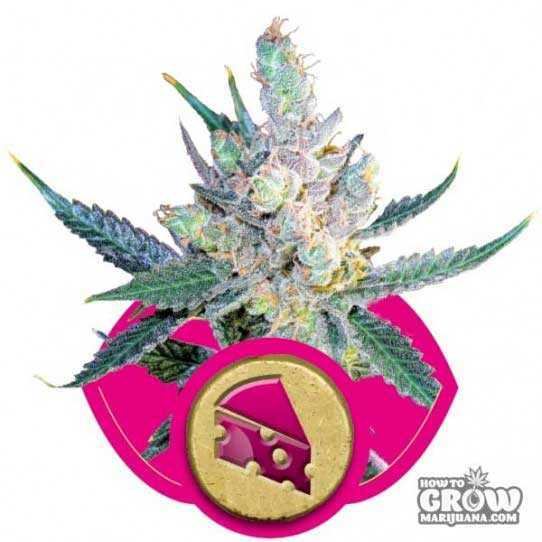 Royal Queen Royal Cheese Feminized Seeds