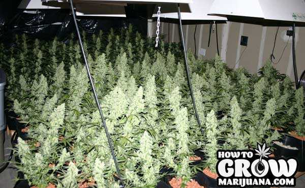 Best Auto Flowering Cannabis Seeds
