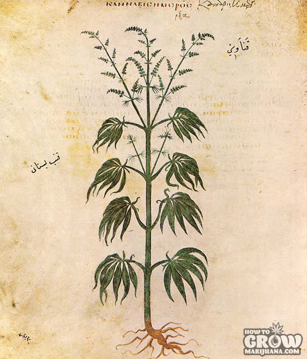 Cannabis Sativa Illustration