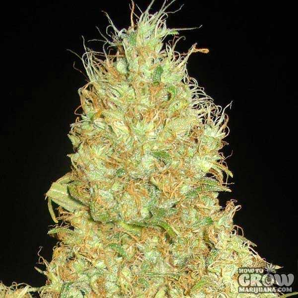 Delicious - Fruity Chronic Juice Feminized Seeds
