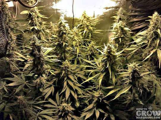 Dutch Passion Power Plant Feminized Seeds