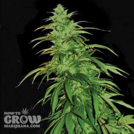 Emerald Triangle Lemon Haze Auto Seeds