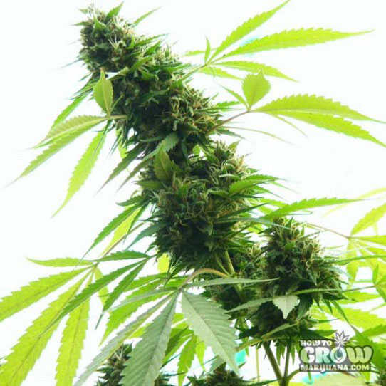 Jack Herer Feminized Cannabis Seeds