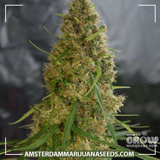 Light of Jah Feminized Seeds