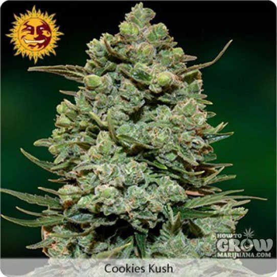 Barney's Farm Cookies Kush Seeds