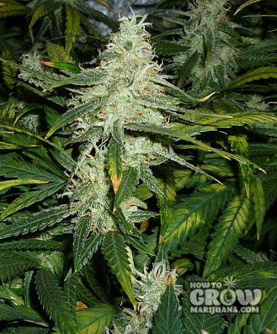 Green House Super Lemon Haze Seeds