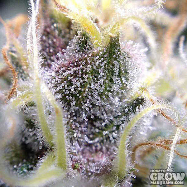 Judges look for Resin Crystals on each Bud