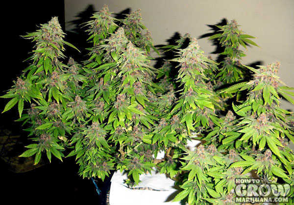 Light Green Marijuana Leaves near Harvest