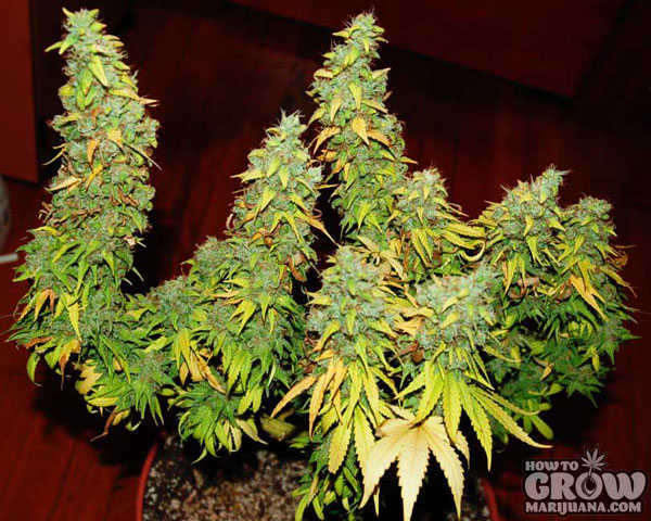 Yellowing Marijuana Leaves with Huge Buds