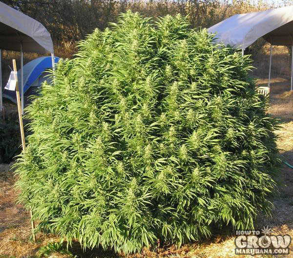 Bushy Outdoor Marijuana