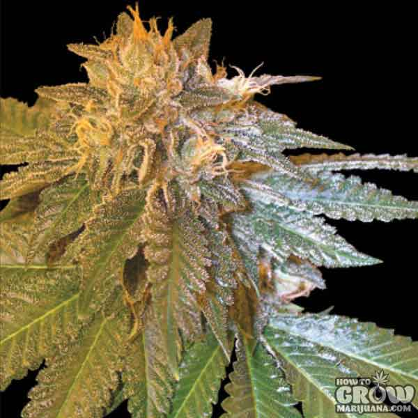 Best Indica Cannabis Seeds
