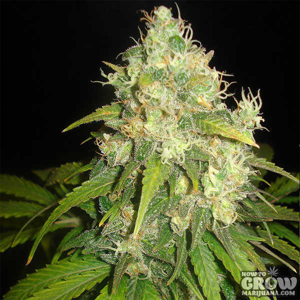 Delicious Fruity Chronic Juice Seeds