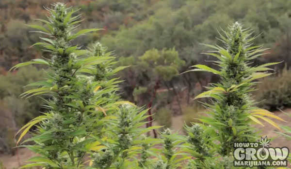 Essential Site Visits Grow Marijuana Outdoors