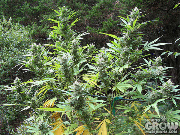 Flowering Marijuana Outdoors