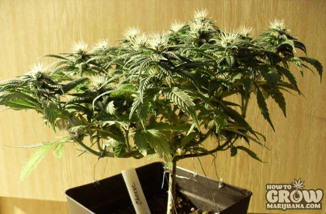 Best Sativa Marijuana Seeds
