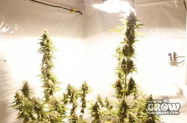 Make Sure you Have Enough Space for your Sativa Plants and your Lights