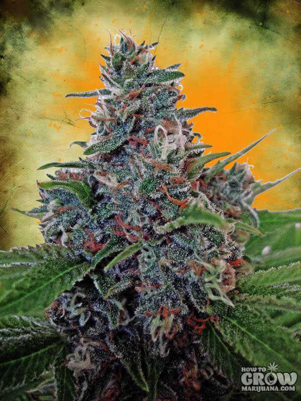 Ministry Of Cannabis Auto Blue Amnesia Autoflowering