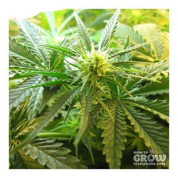 Northern Lights #5 Feminized Seeds
