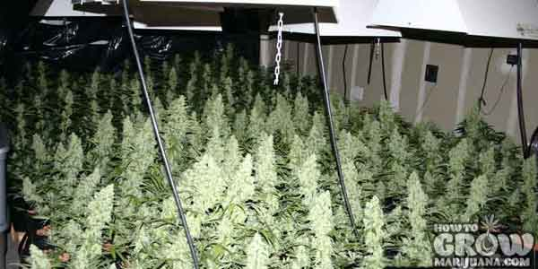 Sea of Green Growing & Best Indica Cannabis Seeds